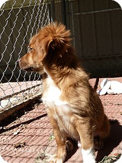 Australian Shepherd/Shepherd (Unknown Type) Mix Puppy for adoption in Waynetown, Indiana - Josh
