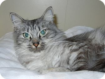 Domestic Mediumhair Cat for adoption in Miami, Florida - Lacey