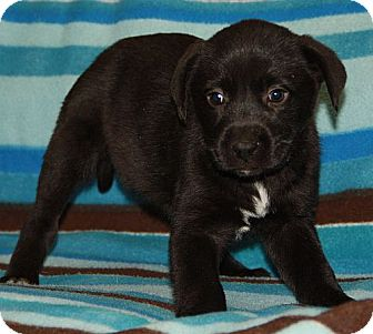 Labrador Retriever Mix Puppy for adoption in Harmony, Glocester, Rhode Island - Dee Dee