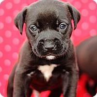 Adopt A Pet :: Litter of Black Puppies - Reisterstown, MD