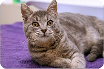 Domestic Shorthair Cat for adoption in Sterling Heights, Michigan - Dusky-ADOPTED