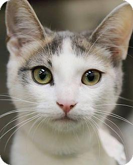 Domestic Shorthair Kitten for adoption in Rochester, New York - Princess