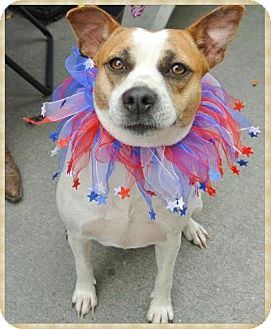 Jack Russell Terrier/Cattle Dog Mix Dog for adoption in Austin, Texas - Annabelle in Houston