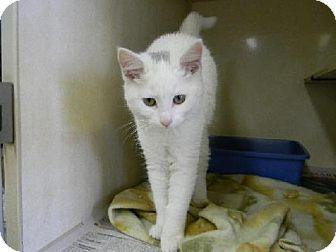 Domestic Shorthair Kitten for adoption in Tyner, North Carolina - Little Bit
