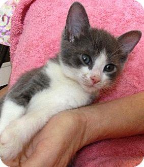 Domestic Shorthair Kitten for adoption in Orlando, Florida - Ellie