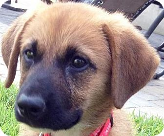 Labrador Retriever/Shepherd (Unknown Type) Mix Puppy for adoption in Cary, North Carolina - Chelsea--ADOPTED