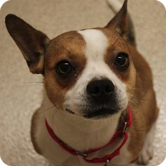 Boston Terrier/Jack Russell Terrier Mix Dog for adoption in Naperville, Illinois - Lizzy