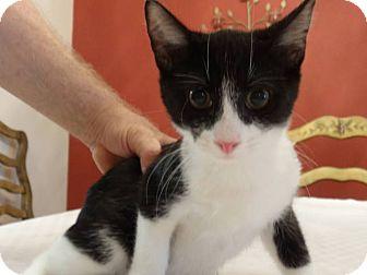 Domestic Shorthair Kitten for adoption in Colmar, Pennsylvania - Benjamin
