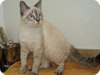 Siamese Kitten for adoption in Englewood, Florida - Suki