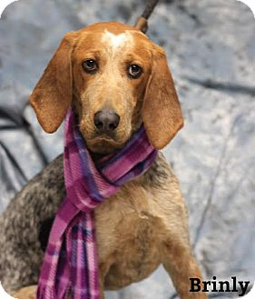 Hound (Unknown Type) Mix Dog for adoption in Twin Falls, Idaho - Brinly