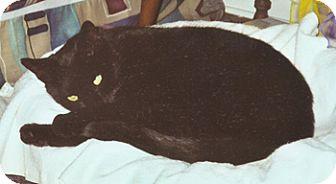 Domestic Shorthair Cat for adoption in Wakefield, Massachusetts - Tedy