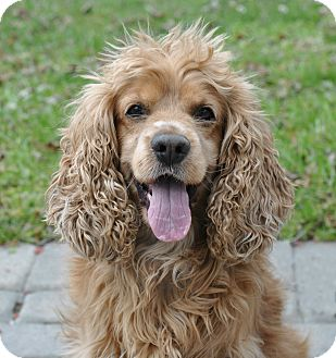 Cocker Spaniel Mix Dog for adoption in Linden, New Jersey - BROWNIE