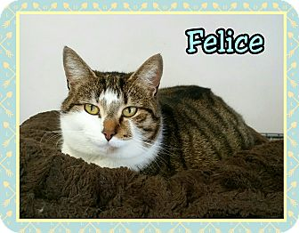 Domestic Shorthair Cat for adoption in Atco, New Jersey - Felice