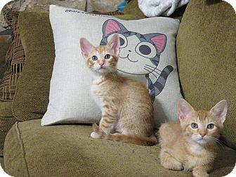 Domestic Mediumhair Kitten for adoption in Mansfield, Texas - Dante