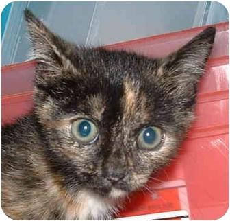 Domestic Shorthair Kitten for adoption in Honesdale, Pennsylvania - Dumpling