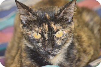 Domestic Shorthair Cat for adoption in San Leon, Texas - Joleen