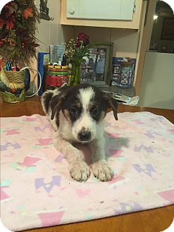 Jack Russell Terrier/Corgi Mix Puppy for adoption in Kittery, Maine - Gabe