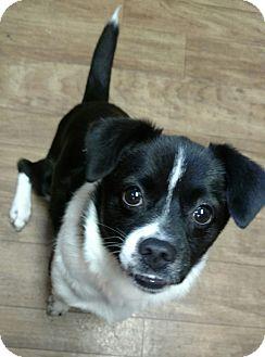 Boston Terrier/Collie Mix Dog for adoption in Ashburn, Virginia - Egypt