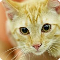 Domestic Shorthair Kitten for adoption in Great Falls, Montana - Sunny