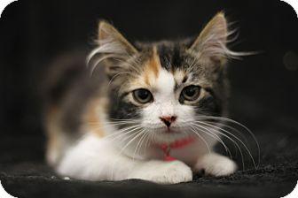 Calico Kitten for adoption in San Dimas, California - Ginger