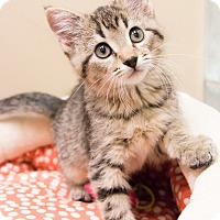 Adopt A Pet :: Miss Rizzo - Chicago, IL