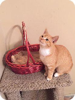 Domestic Shorthair Kitten for adoption in North Branch, Michigan - Pumpkin