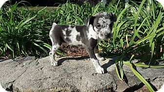 Chihuahua/Catahoula Leopard Dog Mix Puppy for adoption in Allentown, New Jersey - Georgie