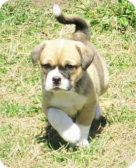 Corgi/Pug Mix Puppy for adoption in Godley, Texas - Macey's Tricolor Boy