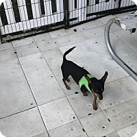 Adopt A Pet :: Snoopy - Oakland, FL