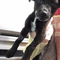 Adopt A Pet :: Expresso - St. Charles, MO