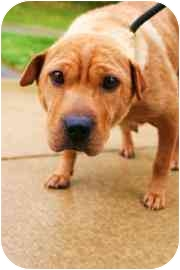 Shar Pei Mix Dog for adoption in Walker, Michigan - Mouse