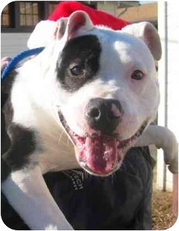 American Pit Bull Terrier Mix Dog for adoption in Berkeley, California - Angel