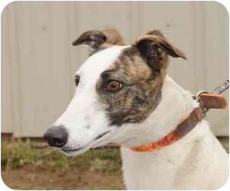 Greyhound Dog for adoption in Chagrin Falls, Ohio - Wacky
