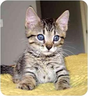 Domestic Shorthair Kitten for adoption in Overland Park, Kansas - Scout
