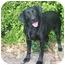 Photo 1 - Labrador Retriever Dog for adoption in Muldrow, Oklahoma - HERSHEY