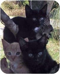 Domestic Shorthair Cat for adoption in Harrisburg, North Carolina - Robert