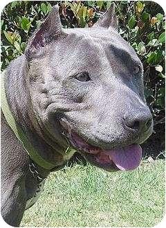 American Pit Bull Terrier Mix Dog for adoption in Santa Barbara, California - Chica