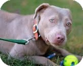 Labrador Retriever/American Staffordshire Terrier Mix Dog for adoption in Snohomish, Washington - Nelly Petite & Sweet