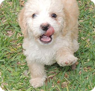 Cockapoo Mix Puppy for adoption in La Habra Heights, California - Butterscotch
