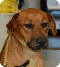 Shepherd (Unknown Type) Mix Dog for adoption in Brooklyn, New York - Cara