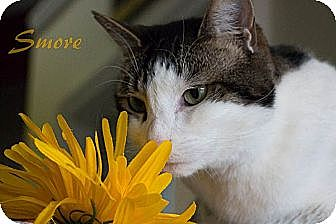 Domestic Mediumhair Cat for adoption in Chester, Maryland - Smore
