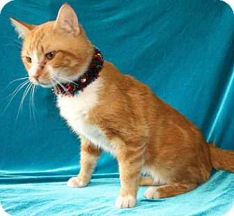 Domestic Shorthair Cat for adoption in Jackson, Michigan - Mr. Smith