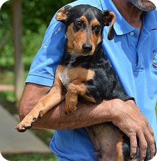 Dachshund Mix Dog for adoption in Groton, Massachusetts - Jamie