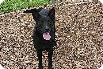 Labrador Retriever/Shepherd (Unknown Type) Mix Dog for adoption in Russellville, Kentucky - Sierra
