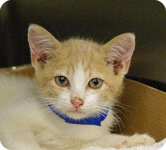Domestic Shorthair Kitten for adoption in Daytona Beach, Florida - Cheesepuff