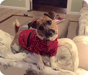 Jack Russell Terrier Puppy for adoption in Houston, Texas - Twister in Houston