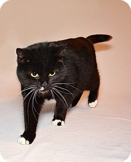 Domestic Shorthair Cat for adoption in Clarksville, Tennessee - Semone