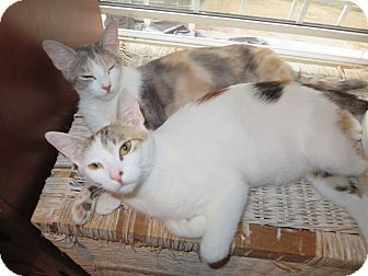 Domestic Shorthair Cat for adoption in Los Angeles, California - Patches and Calo