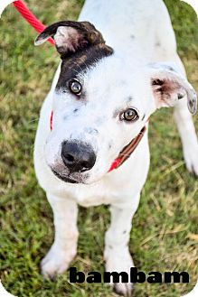 Labrador Retriever/Dalmatian Mix Puppy for adoption in DFW, Texas - BamBam