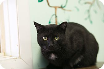 Domestic Shorthair Cat for adoption in Walden, New York - Styxx